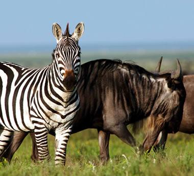 Serengeti & Chimp Trekking