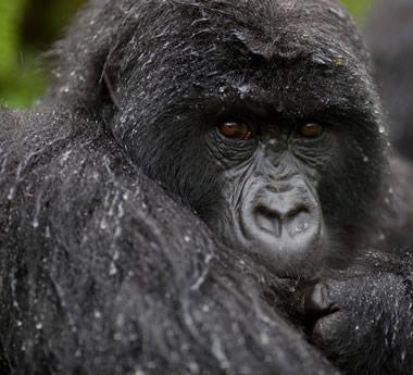 Uganda Gorilla Safari