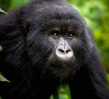 Amazing Gorilla Trek