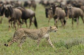 Serengeti Calving Season