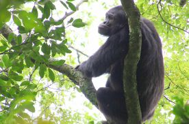 Rubondo Island Chimpanzees
