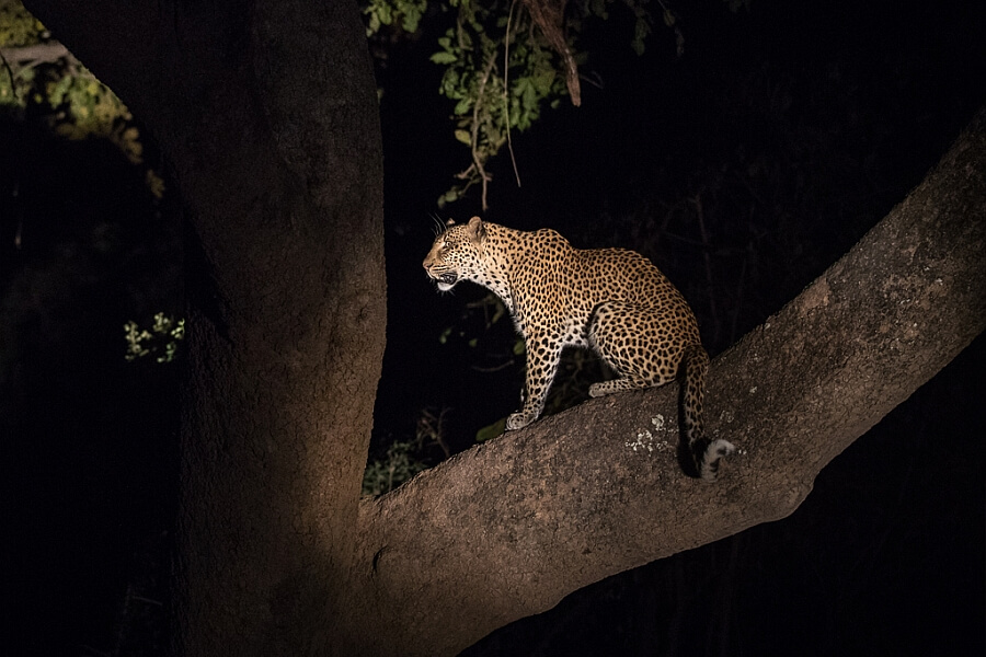 Leopards in South Luangwa