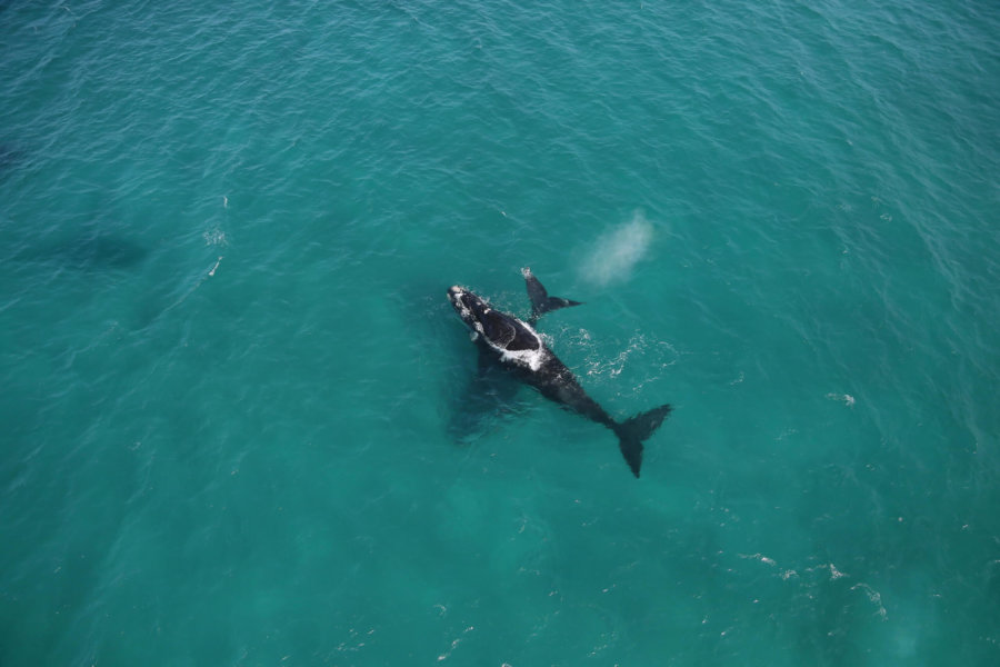 Aerial shot of Southern Right whales in South Africa.