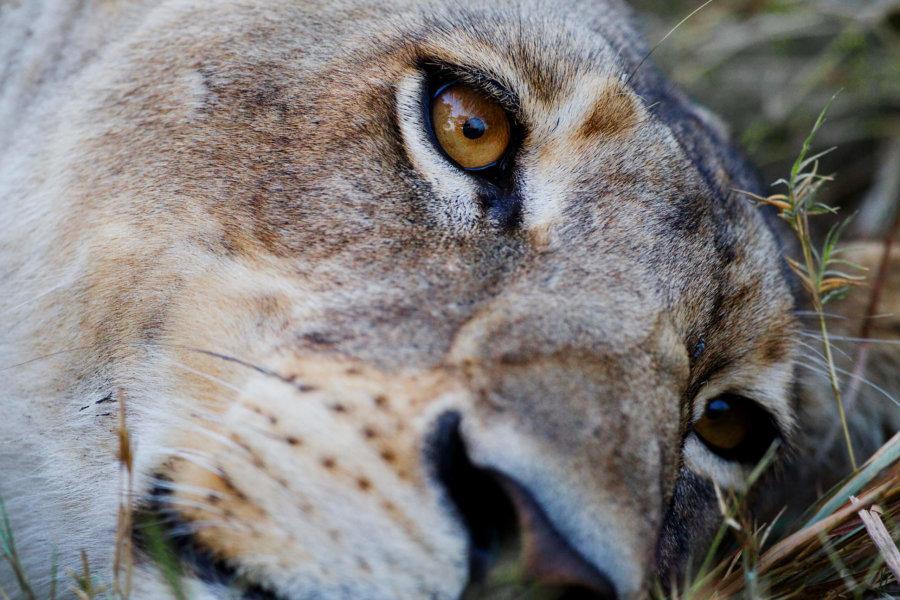 Lion close up at Shinde camp