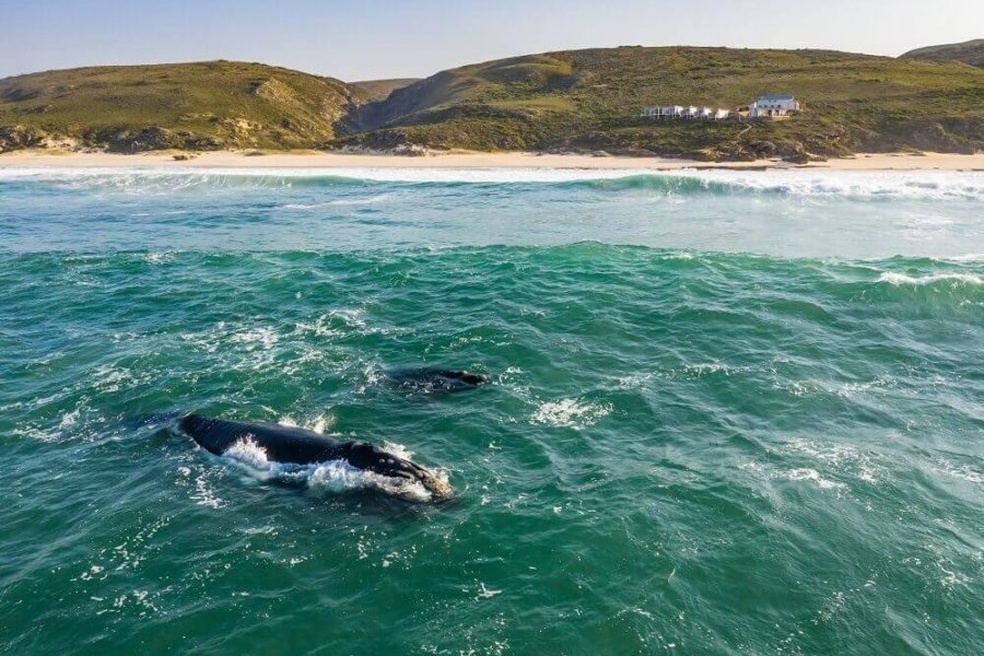 Cow and calf Southern Right whales at De Hoop